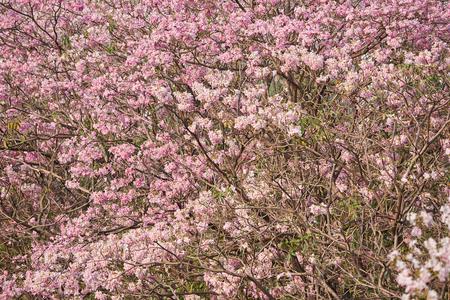 Beautiful pink tabebuia rosea in the park