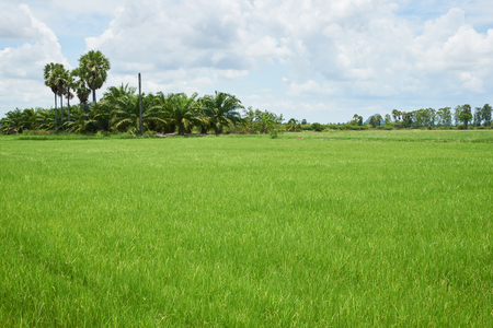 Scene of green rice field and coconut tree on blue sky background in rural area Stock Photo