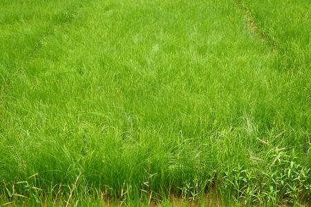 Scene of green rice field pattern in rural area
