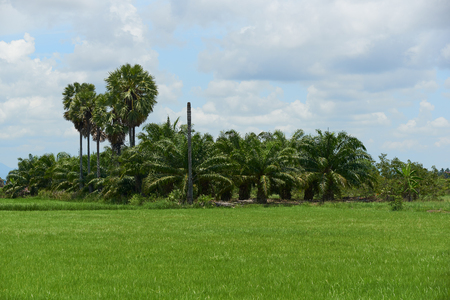 Scene of green rice field and coconut trees on blue sky background in rural area Stock Photo