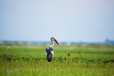 Asian Open-billed or Anastomus oscitans standing on the green field at Phatthalung province, Thailand