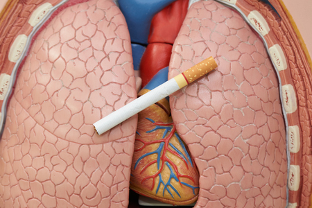 World no tobacco day. Concept of smoking cigarette harm to lung and heart. Cigarette on artificial human lung and heart model. Stock Photo