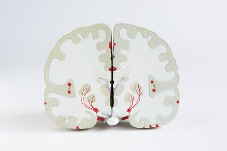 Front section view of artificial human brain model on white background
