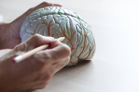 Human brain model on the desk of medical office and doctor demonstrating anatomy of brain.