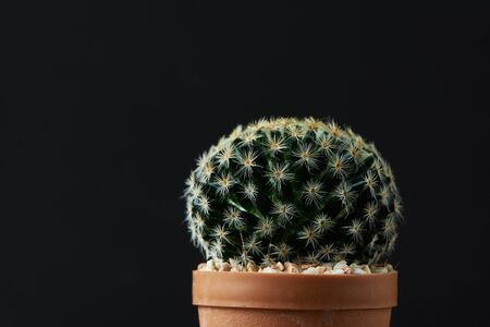 Beautiful Acanthocalycium cactus on black background