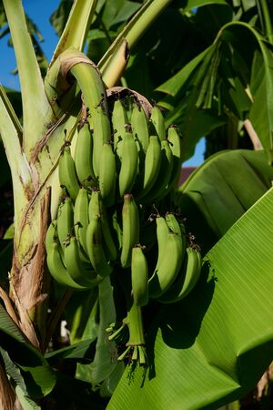 A bunch of unriped bananas hanging on the tree in the garden Standard-Bild