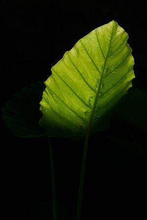 Beautiful large green elephant ear leaf on black background Imagens