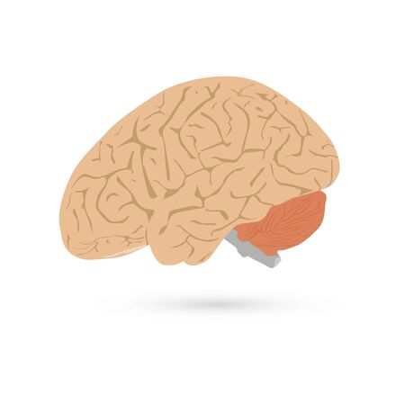Vector illustration side view of human brain isolated on white background