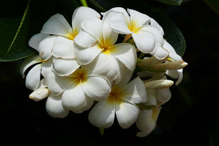 A branch of beautiful plumeria alba flowers and morning sunlight