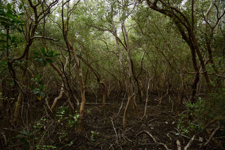 Mangrove forest  at The Laem Phak Bia Environmental Study and Development Project, Phetchaburi, Thailand Stockfoto