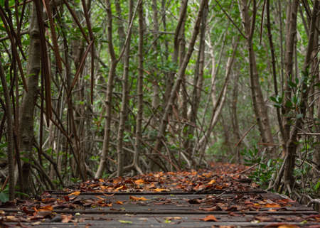 Fallen leaves on the wooden walkway Mangrove forest on background. Stockfoto