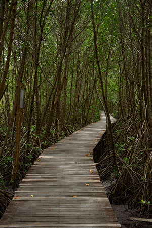 Wooden foot path in mangrove forest  at The Laem Phak Bia Environmental Study and Development Project, Phetchaburi, Thailand