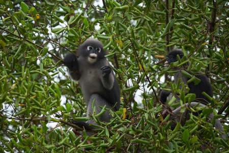 Two little leaf monkeys climbing  the tree and staring to the camera