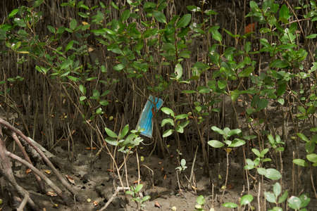 A used blue face mask thrown in mangrove forest