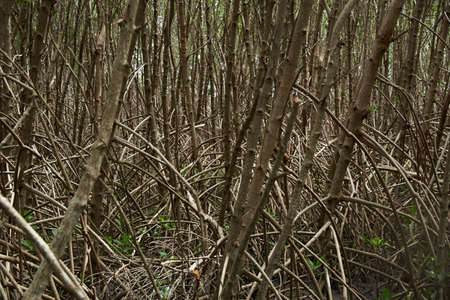 Scene of mangrove tree branch pattern in mangrove forest Stockfoto