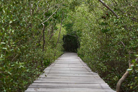 Wooden walkway in mangrove forest  at The Laem Phak Bia Environmental Study and Development Project, Phetchaburi, Thailand