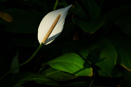Peace lily or spathiphyllum with green leaves on sunlighgt in the garden