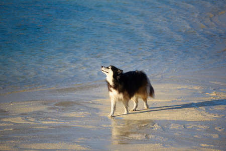 A siberian black and white dog on the beach Stock fotó
