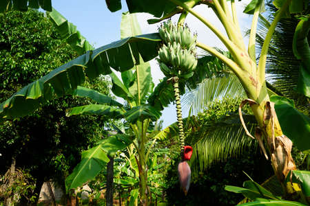 A bunch of raw green bananas hanging on a the tree
