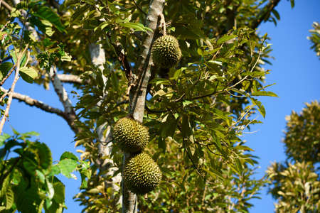 Durian fruits on durian tree in the garden and blue sky background
