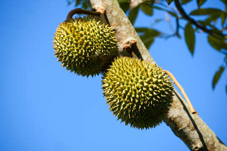 Close-up view of durian fruits on durian tree and blue sky background Stock fotó