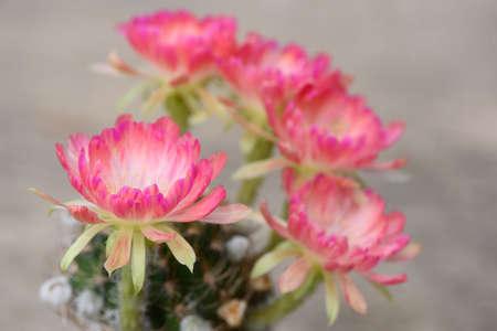 Close-up view of beautiful pink lobivia bit cactus flower in flower pot