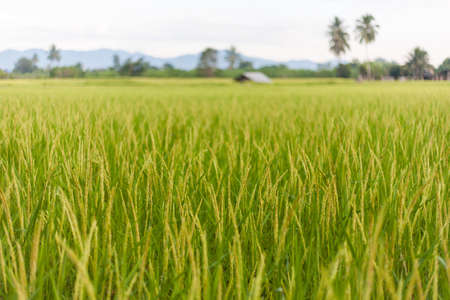 paddy fields: Walking in the paddy fields