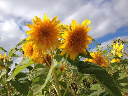 Sun flower: Sonnnenblume