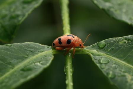 ladyfly: Ladybird Stock Photo