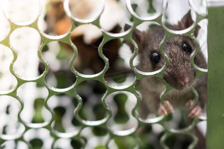 rapping: A rat in a cage