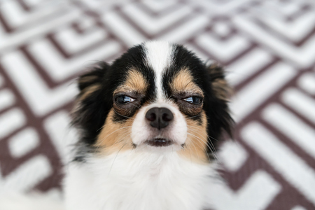 Sleepy tiny chihuahua dog portrait or looking camera. Foto de archivo