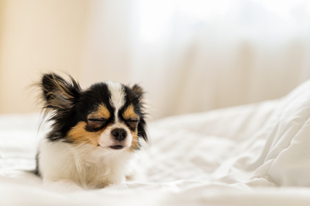 Small cute sleepy chihuahua dog is sleeping or napping on bed in bedroom in morning with light form window. Stock Photo