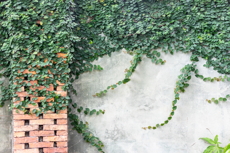 Beautiful plants green ivy on grey cement wall texture with brick decoration. English garden or nature creeper leaf background with copy space concept. Exterior outdoor decorated.