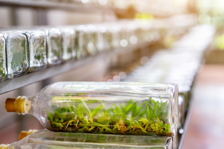 Orchids tissue culture seedlings in glasses jars in laboratory room. Smart farm, agriculture industry and biotechnology concept. Growing seeds or sprouts plant by germination development.