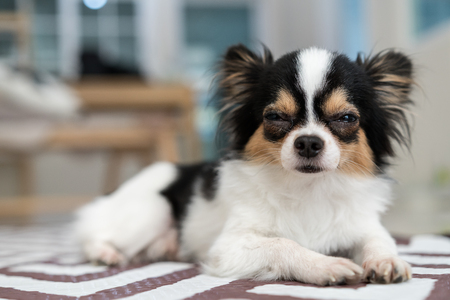 Adorable long/short hair chihuahua dog sleepy lying on mat with home living room background. Beautiful mark with black,brown and white color. Nap or sleeping dog resting on weekend or holiday concept. Stock Photo