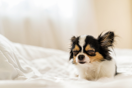 Sleepy cute dog on blanket on bed with backlit warm bright sunlight background from bedroom's window with copy space. Pet relax rest in winter lazy time.Puppy in cold autumn concept. Sweet dream eyes.