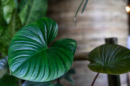 Tropical dark green leaves for decoration or materials. House plant concept with top view or overhead. Minimal home natural lifestyle concept. Stock Photo