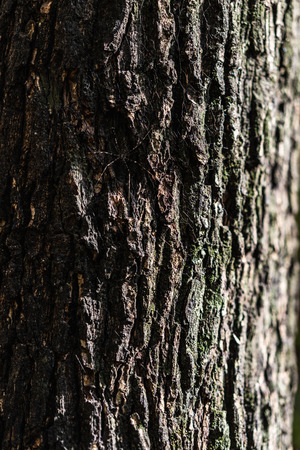 Embossed texture of dark brown tree bark with green moss and lichen. Wooden bark pattern with white cobweb thread and little spider hidden on rough skin with natural sunlight.