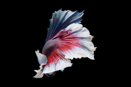 capture the moment: Capture the moving moment of big ear siamese fighting fish isolated on black background.