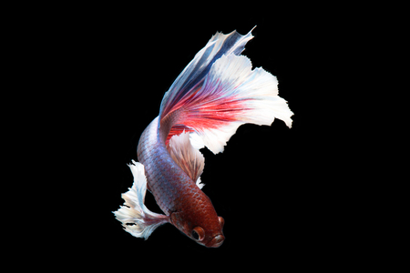 ears: Capture the moving moment of big ear siamese fighting fish isolated on black background.