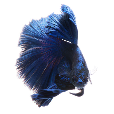 blue siamese: Capture the moving moment of blue siamese fighting fish isolated on black background.