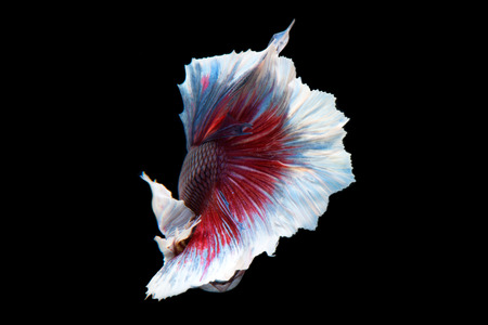 big ear: Capture the moving moment of big ear siamese fighting fish isolated on black background.