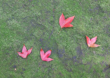 The red maple leave on green mos