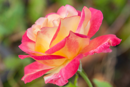 exclusive photo: Close up to pink rose .