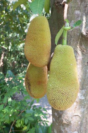 jack fruit: The jack fruit on the tree .