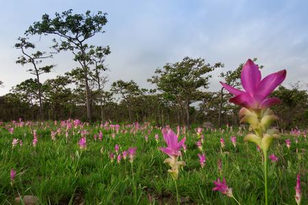 Siam tulips (Curcuma alismatifolia) blooming in the jungle at Chaiyaphum province, Thailand