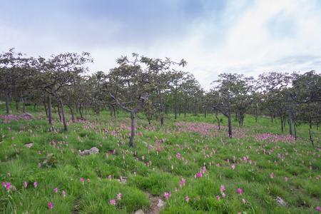 pa: Curcuma sessilis at Pa Hin Ngam national park Thailand Stock Photo