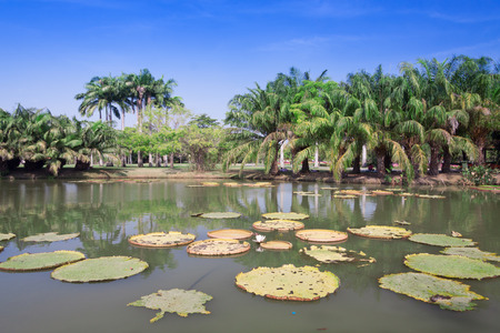 Victoria Regia - the largest water lily in the world 新聞圖片