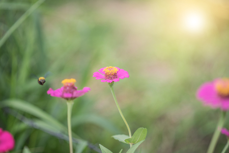 zinnia flowers and wasp