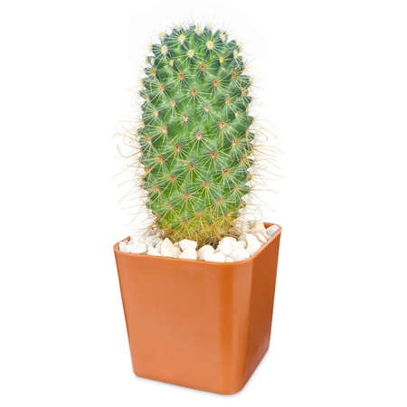 Cactus isolated on white background, Lovely green cactus in brown pot, closeup cacti for decoration. Stock Photo